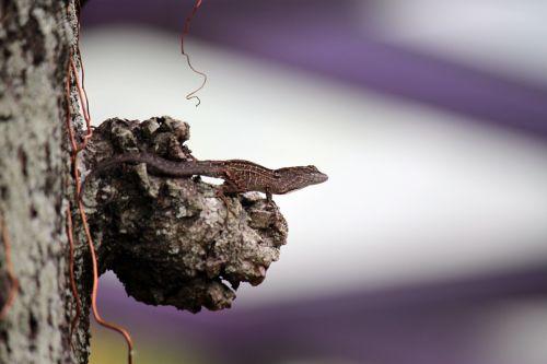 Grey Lizard On The Tree Stem