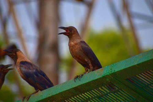 grey-necked crow house crow corvus