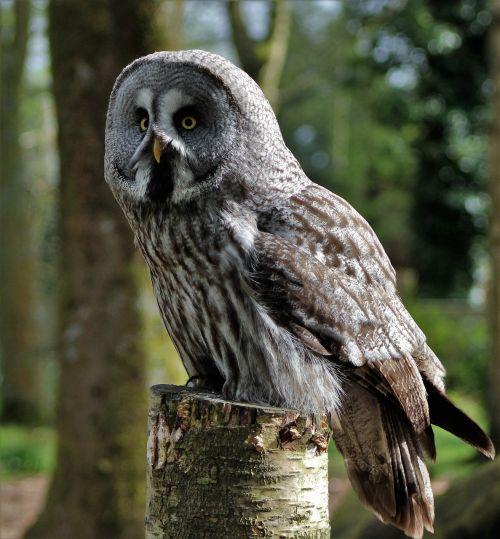 grey owl large owl owl