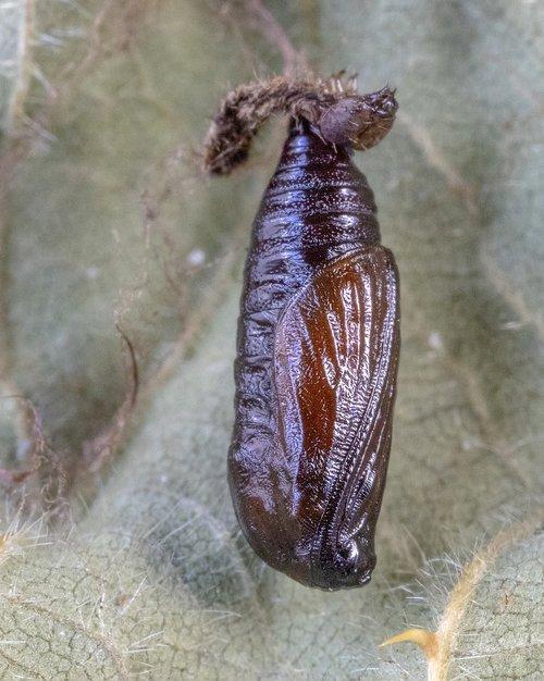 grey-pug-moth  pupa  brown