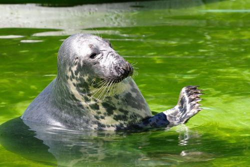 grey seal halichoerus grypus tallinn zoo