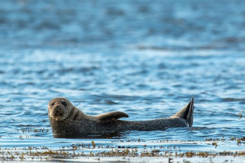 grey seal  animal  seal