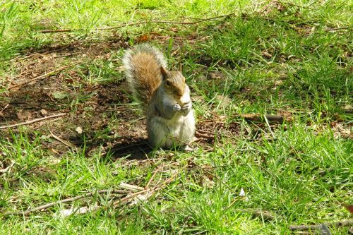 grey squirrel squirrel animals