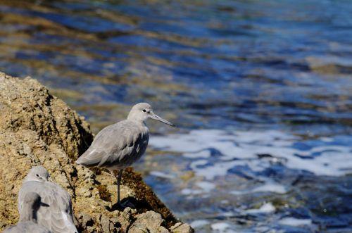 Grey Wader At The Sea