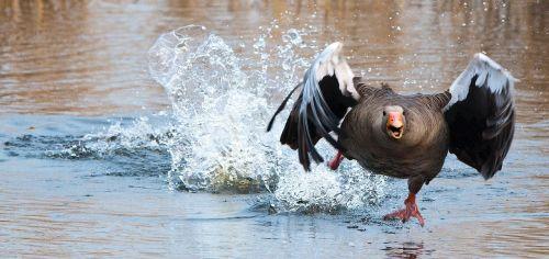 žirniai,žąsis,wa,vandens paukštis