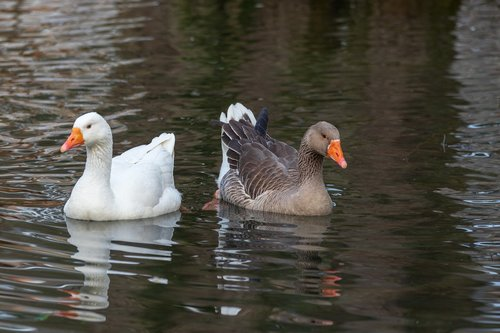 greylag goose  white goose  goose