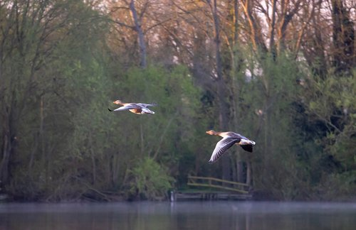 greylag goose  goose  bird in flight