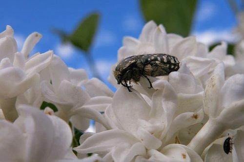 grief rose beetle  oxythyrea funesta  beetle