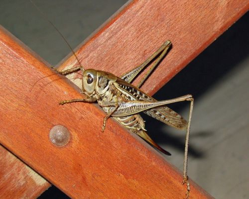 grille insect animal