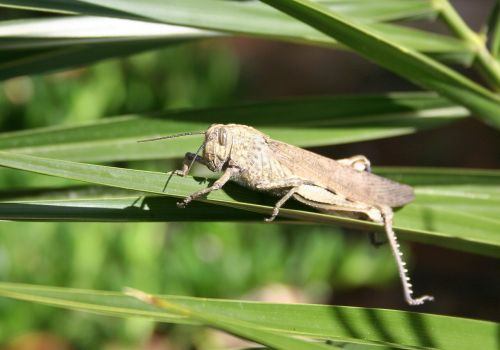 grille grasshoppers giant grasshopper
