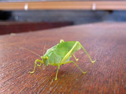 grille grasshopper green