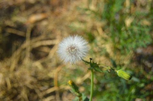 grinder dandelion plant wildlife