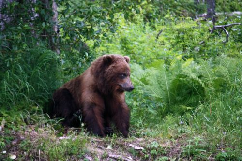 grizzly animals bear
