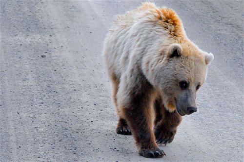 grizzly bear alaska grizzly