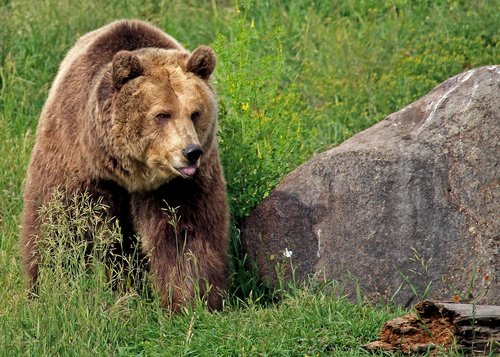 grizzly bear  bear  grizzly