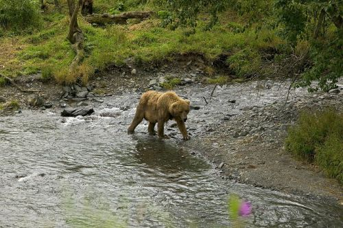 grizzly bear walking wildlife