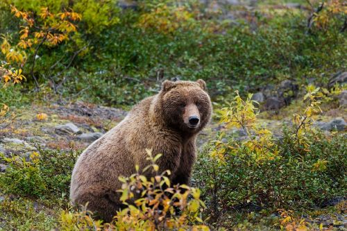 grizzly bear wildlife nature