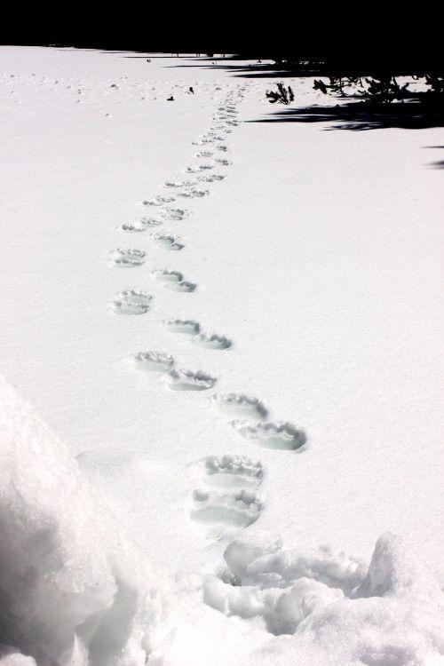 grizzly bear tracks snow wildlife