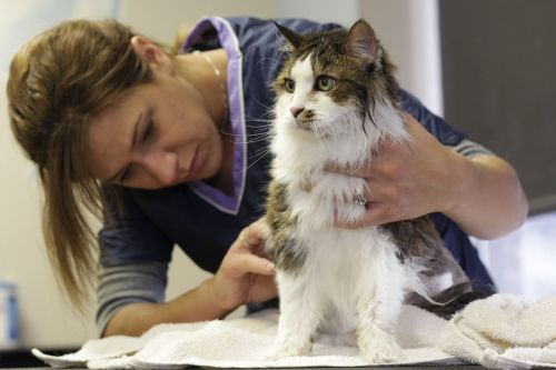 grooming cat pet
