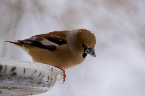 gros bec casse-core bird fauna