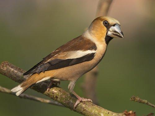 grosbeak  fink king  songbird
