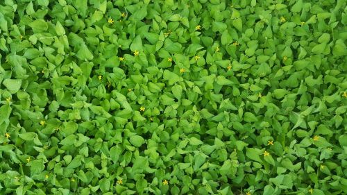 ground cover green straggler daisy