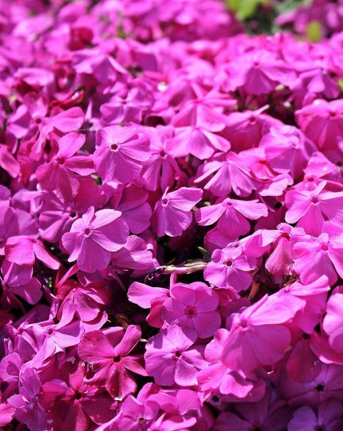 cranebill,žemės danga,gėlė,augalas,gėlės,gėlė violetinė,purpurinės gėlės,rožinės gėlės,violetinė,violetinė,rožinis,gamta,sodas,pavasaris,vasara,žydėti,flora,violetinė augalas,violetinė gamykla,rožinis augalas
