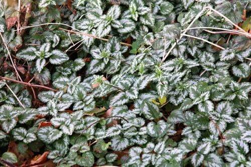 ground cover ordinary goldnessel leaves