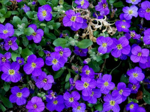 ground cover blue pillow flowers