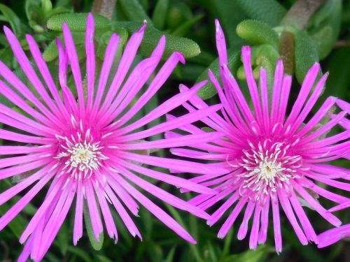 ground cover ice plant ice