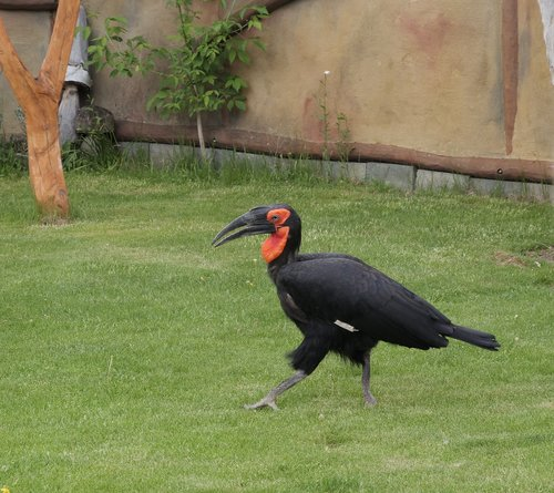 ground-hornbill  animal  bird