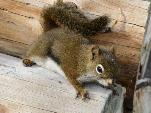ground squirrel animal nature
