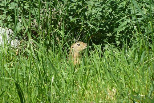žemės voverė,europinė sausoji voverė,spermophilus citellus,gophers,gyvūnas,deer stettner sodai
