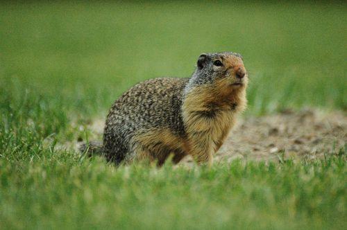 ground squirrel squirrel grass