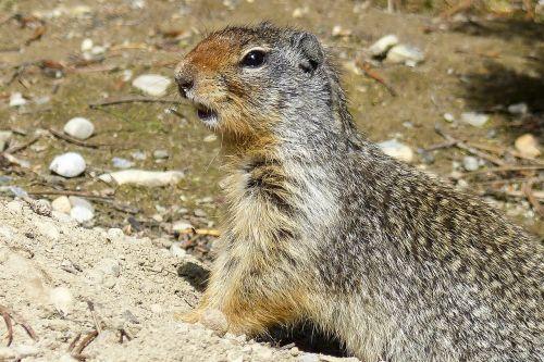 ground squirrel animal mammal