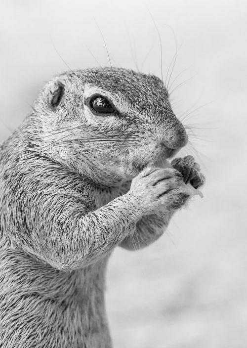 ground squirrel feeding portrait head