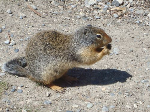 Ground Squirrel With Nut