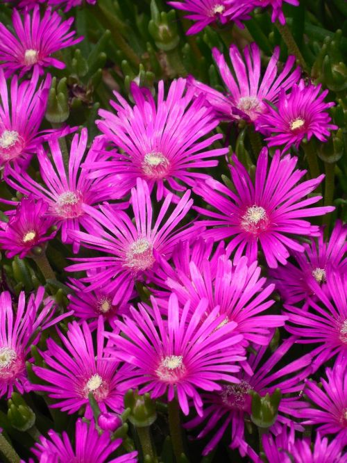 groundcover ice plant ice