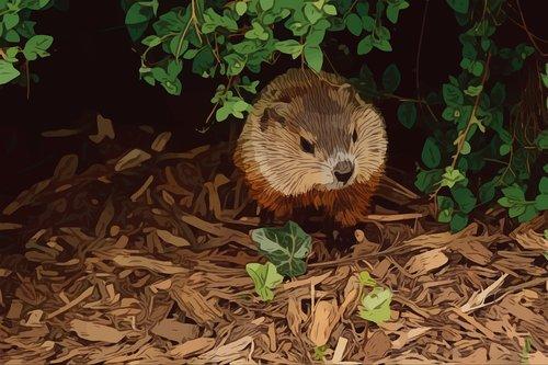 groundhog  animal  rodent