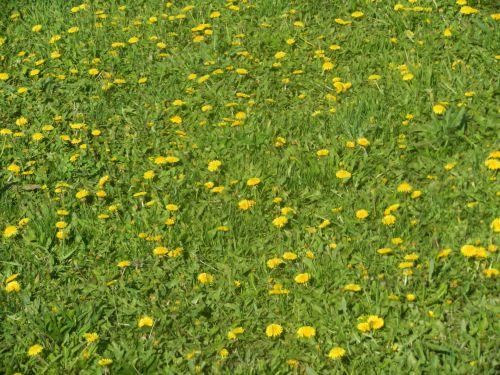 Group Of Dandelions