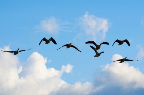 Group Of Flying Geese