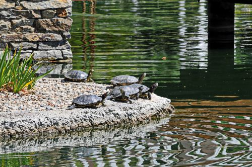 Group Of Turtles By The Water