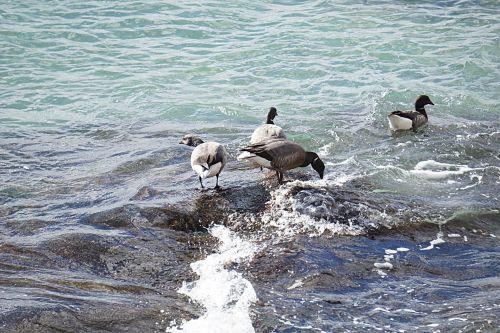 Group Of Wild Ducks