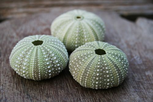 Grouped Green Sea Urchin Shells