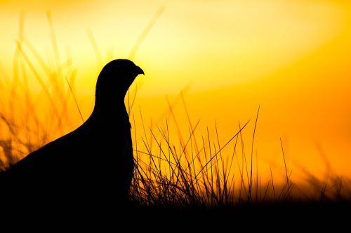 grouse sunrise scotland