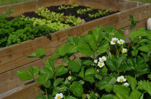 grow strawberries anticipation
