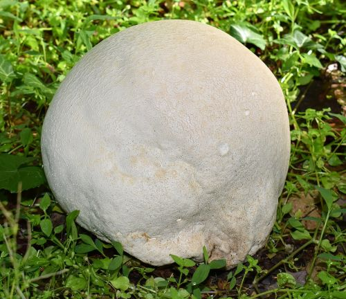 growing puffball volleyball size fungi