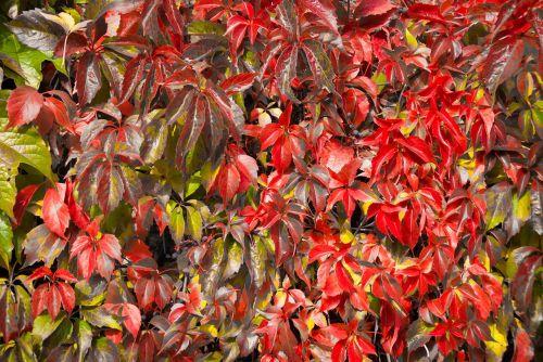 grown leaves red