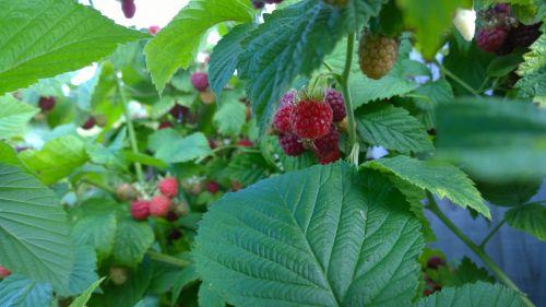 Grown Your Own Raspberries