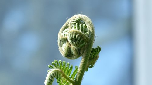 growth  nature  fiddlehead